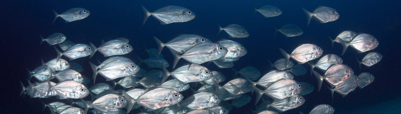 Banc de poissons à Amed beach, Indonésie